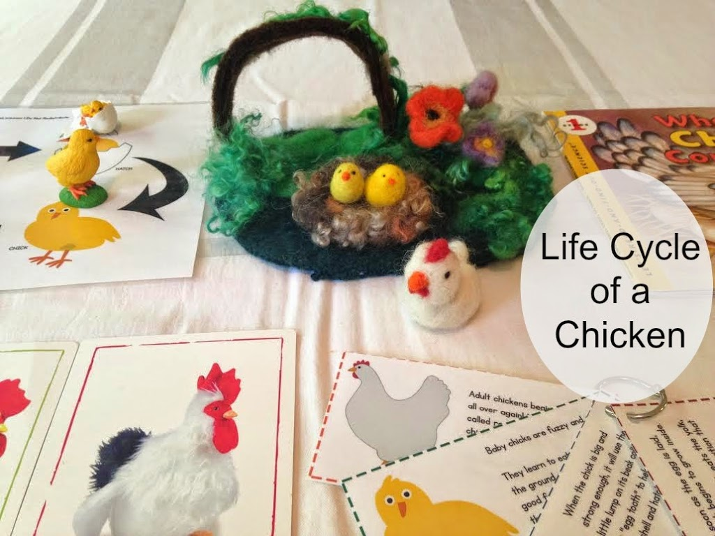 life cycle of a chicken, Science, homeschooling, books, activities, unit study, handmade , Montessori learning, Waldorf, and more www.naturalbeachliving.com