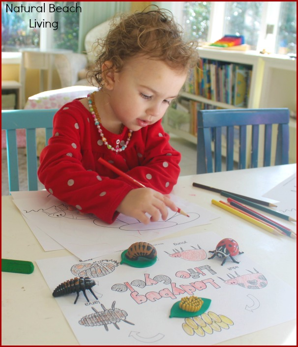 Ladybug Life Cycle Activities, Preschool activities, toddler activities, Science, Sensory play, ladybug craft, Spring, Printables,www.naturalbeachliving.com