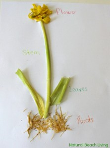 Montessori Inspired Botany for kids, Hands on Learning, Science, Gardening, Botany Printables, Plant lessons, Natural Learning, www.naturalbeachliving.com
