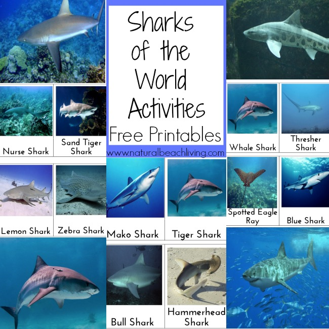 Awesome Shark Activities, Books, crafts, snacks, party themes, sensory play and more. Shark week activities, Free Printables for the Sharks of the World