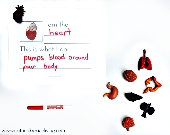 Montessori Human Anatomy Activities (Free Printables) - Natural