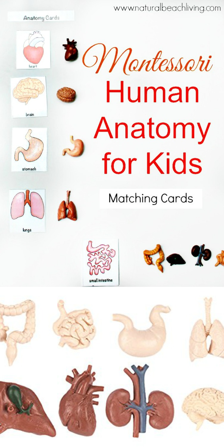 Montessori Human Anatomy Activities Free Printables Natural