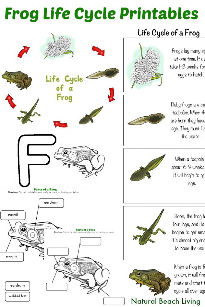 graphic regarding Printable Frogs named Frog Existence Cycle Actions for Kindergarten with No cost