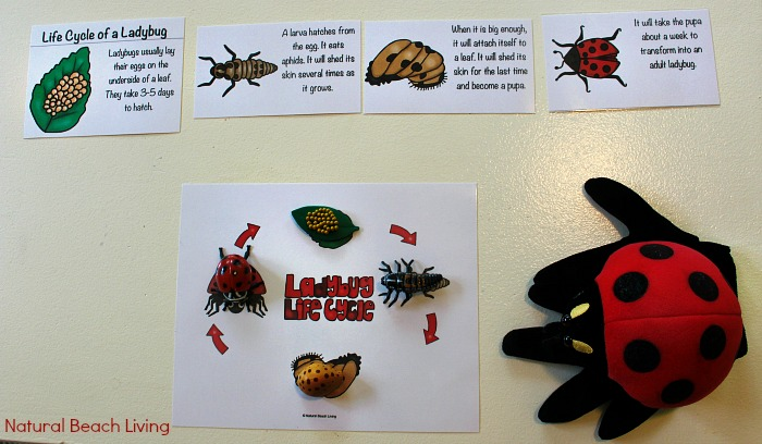Ladybug Life Cycle Art Project