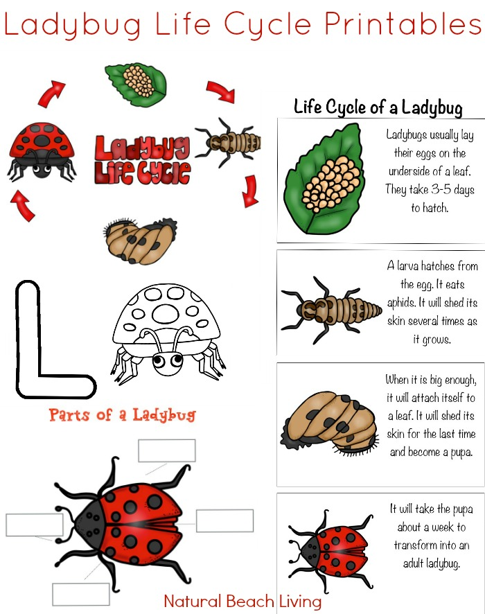 Ladybug Life Cycle, Ladybug Activities for Kids, Kids learn about Ladybug Life Cycles with these hands-on activities and fun ladybug life cycle worksheets. Here you will find exciting ways to teach your children about the life cycle of a ladybug with ladybug coloring pages, ladybug fact cards, ladybug counting printables, and you can even make a ladybug slime recipe.