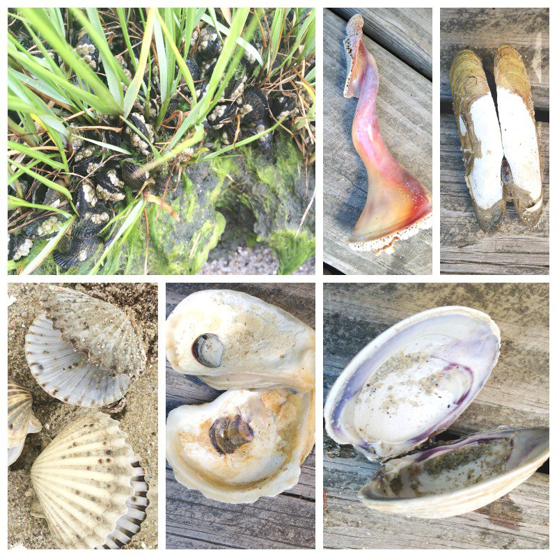 Beach-Learning-Activities-What-Lives-Inside-A-Shell- 20+ Fun Activities to do at the Beach, Family Fun, Summer Fun, Vacation Activities, Free Scavenger Hunts, Natural Learning, Shells, Art, Sensory and more