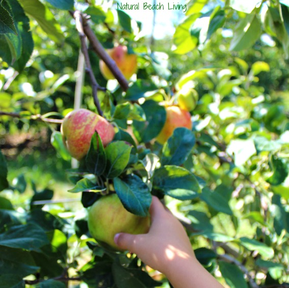 apple picking, The Best Apple Activities for Toddlers, Preschoolers and Kindergartners, FIAR, BFIAR, Free Printables, How to Make an Apple Pie, Homemade, Hands on Learning