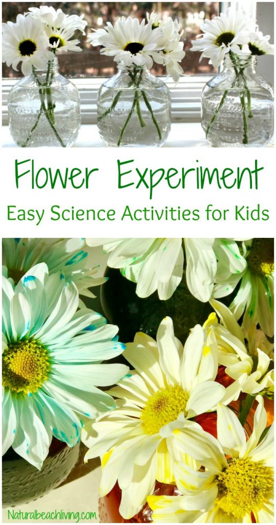 Easy Flower Science Activities for Preschool and Kindergarten, Fun Flower experiment for kids, Color changing flowers, Nature Kids activities for homeschool