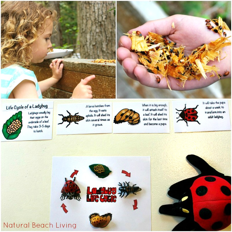 The Ultimate Life Cycle Printables for preschoolers and kindergarten, Butterfly life cycle, Frogs, Owls, Sea Turtles, Ladybugs, Plant life, Animal Habitats and more