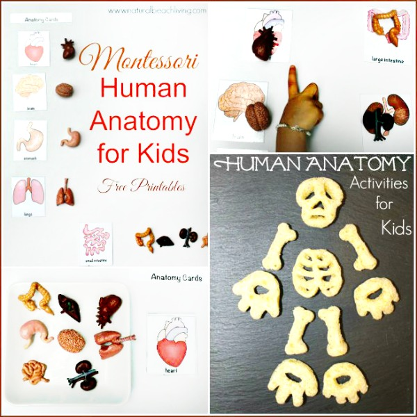Montessori Human Anatomy Activities (Free Printables)
