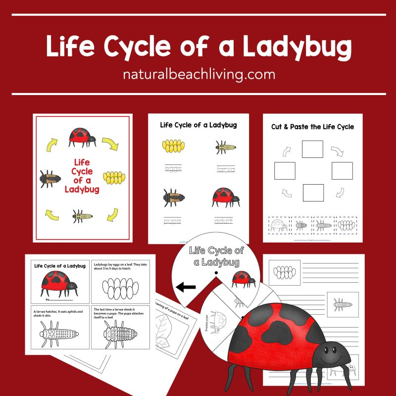 Ladybug Life Cycle Worksheets and Activities, 8 Pages of The Life Cycle of a Ladybug Activities for teaching the life cycle. Perfect for Preschool and Kindergarten Science, Ladybug Life Cycle Printables for Preschoolers