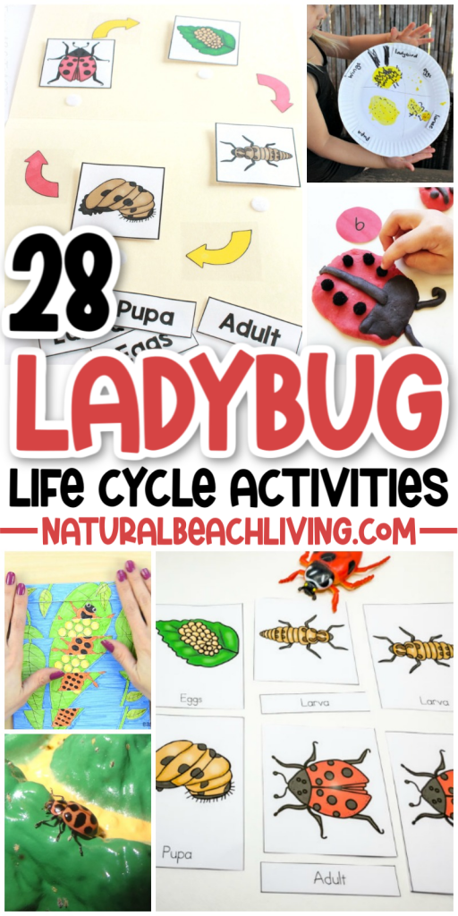 Use these Ladybug Life Cycle Activities and Crafts to help plan your own Ladybug unit study or use them to learn or add to your Spring Activities. 30+ Life Cycle of a Ladybug Printables and Activities for Preschoolers, Kindergarten, Toddlers, and older kids too. Find over 100 Life Cycle Activities for Kids Here!