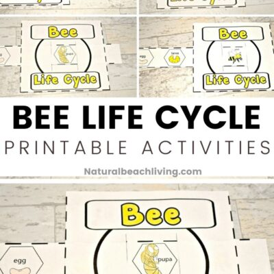 Life Cycle of a Honey Bee Free Printable