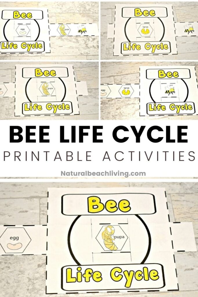 This Life Cycle of a Honey Bee Free Printable is a great way to encourage learning about bees.  Enjoy science and nature with the bees and this free preschool printable.