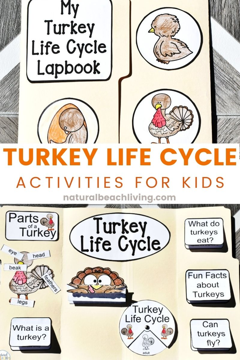 Turkey Life Cycle for Kindergarten and Early Elementary Students